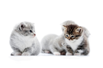 Little grey fluffy adorable kitten looking to the side with beautiful blue eyes while others posing in the background. Blurred white studio cute amusing funny cats anxious curious kitties