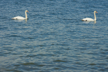 A couple of white swans swimming in the cold waters of Gulf of Finland on a nice summer day