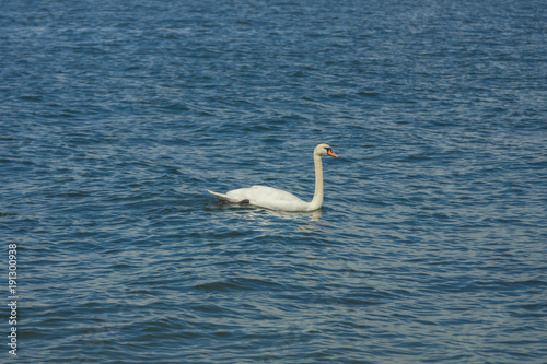 A white swan swimming in the cold waters of Gulf of Finland