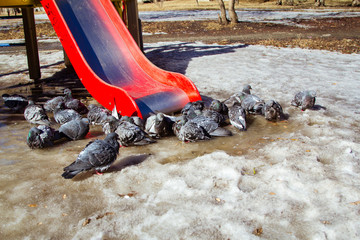 ruffled pigeons on the ice. gray doves on the street in the spring. Spring weather