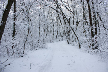 Forest in winter, trees in snow, snowy fairy-tale nature