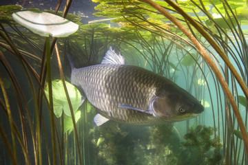 Freshwater fish grass carp (Ctenopharyngodon idella) in the beautiful clean pound. Underwater shot in the lake. Wild animal carp. Grasskarpfen in the nature habitat with nice backgroundand water lily.