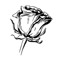 Sketch rose blossom flower drawing, hand drawn floral design, isolated on white background. Vector line brush art illustration.