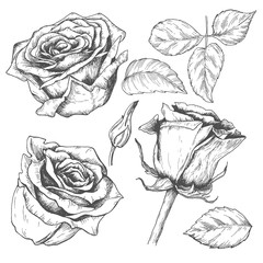 Sketch rose blossom flower with leaves and stem, hand drawn floral set, isolated on white background. Vector vintage illustration.