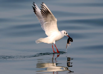 A seagull holding a dead rat in its beak flies above water in Sidon