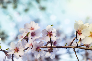 Spring blossom cherry background of white and pink flowers