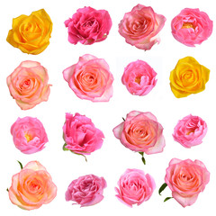 Set of different roses isolated on white background