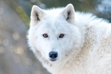 Photo sur Plexiglas Loup Loup blanc 8/10