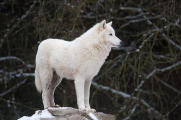 Photo sur Plexiglas Loup Loup blanc 3/10