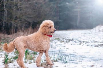 standard poodle apricot color. Aristocratic dog for a walk.