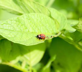 The larva of the Colorado beetle eats a leaf of a potato.