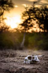 Schädel eines Tieres im Sonnenuntergang / Skull of an animal at sunset