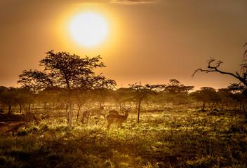 Typische afrikanische Savanne im Sonnen untergagn mit Antilopen im Vordergrund