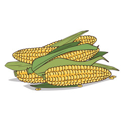 Isolate ripe corn ears or cobs on white background. Close up clipart with shadow in flat realistic cartoon style. Hand drawn icon