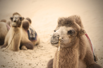 camels V, badain jaran-china