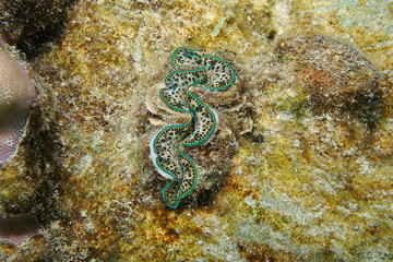 A maxima clam Tridacna maxima, bivalve mollusk underwater, Pacific ocean, Rarotonga, Cook islands