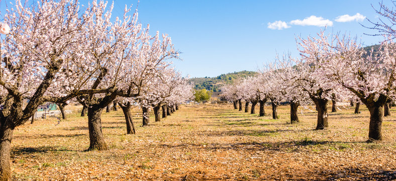 Blooming almond tree garden background