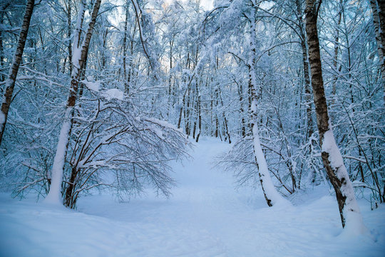 Beautiful winter forrest covered with fresh snow