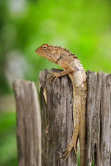 Image of brown chameleon on the stumps on the natural background. Reptile. Animal.