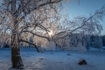 Sun rays in a snowy tree