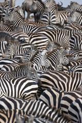 Zebras, Serengeti National Park, Tanzania, East Africa, Africa