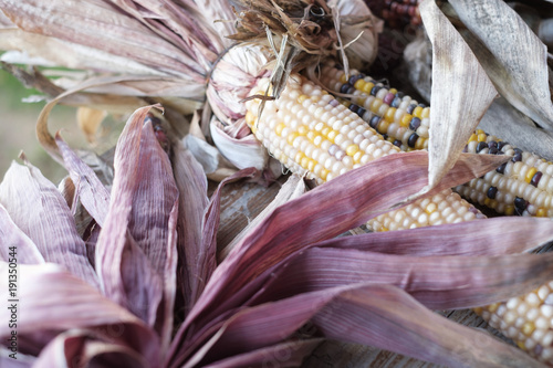 Decorative Corn Stalks Used For Decorating Homes During The