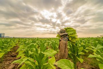 labor working in tobacco farmland,remove tobacco leaf