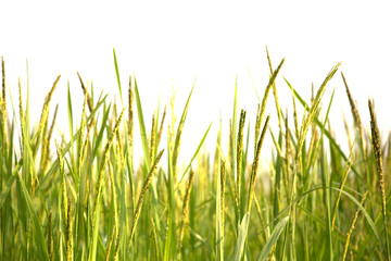 Paddy rice field close up.