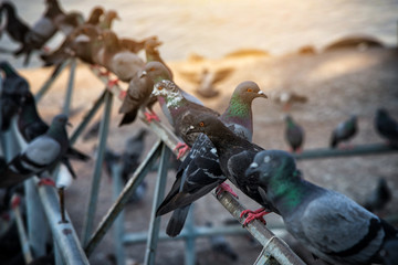 Group of pigeons near river at sunset