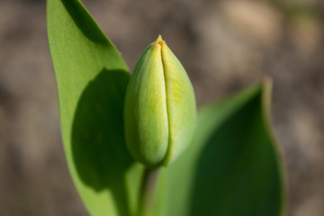 Closed Tulip green