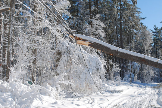 Large tree fallen onto an electrical wire in New england