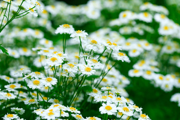 Chamomile flower background. Fresh flowers of chamomiles in the garden. Flowering. Blooming chamomile field. Chamomile flowers. Beautiful chamomiles field at the sun, shallow depth of field.