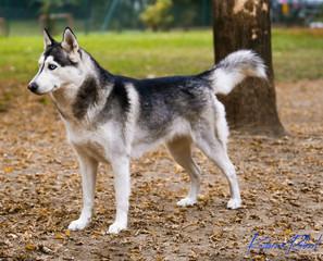 Siberian Husky Black Whyte