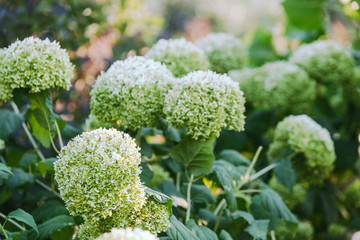 inflorescences of white and green hydrangea closeup outdoor