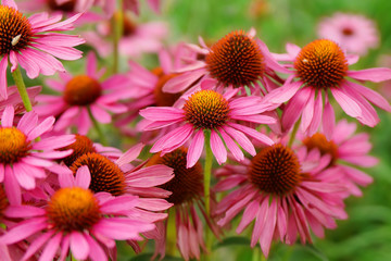 Pink Echinacea Flowers. Close up of pink Echinacea flowers Wall mural