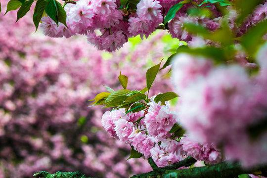 Sakura flower blossom in springtime