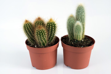Two Cactus in pot on white background.