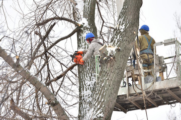 Two working men cut down a large tree in winter using a special rig machine