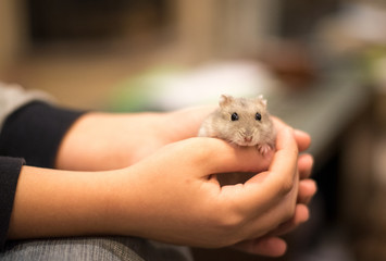 Hands holding with tenderness  a cute little grey hamster