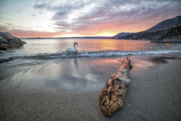 swan on the shore of the lake during a fiery sunset