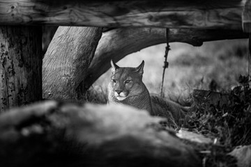 Young Puma resting under tree, Close up in Black and White