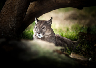 Young Puma resting under tree, Close up