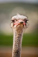 Portrait of a Ostrich, close up