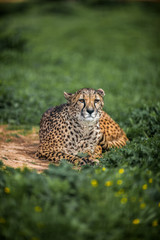 Beautiful Wild Cheetah resting on green fields, Close up