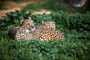 Two Beautiful Wild Cheetahs resting on green fields, Close up