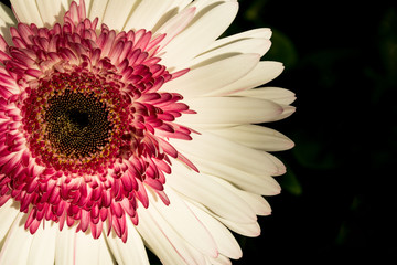 Flower face pink and white on black
