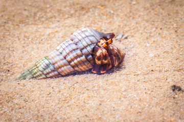 Hermit crab hiding in it's shell on the beach, Nosy Komba, Madagascar