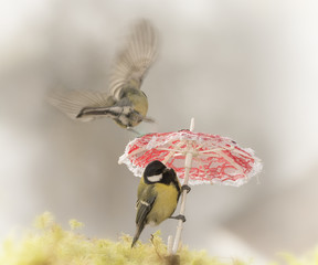 two great tit with a umbrella