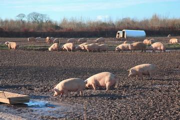 Herd of pigs on the farm in East Devon