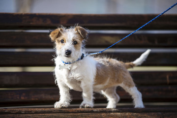 Kromfohrlander dog puppie posing on park bench. Cute dog portrait
